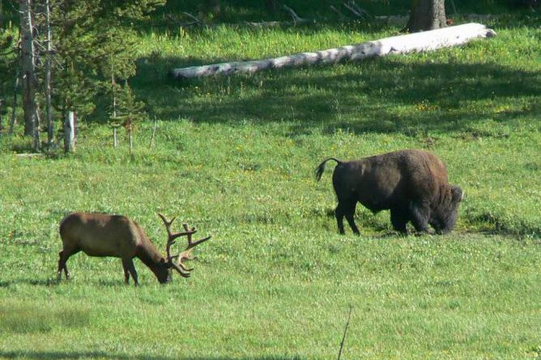 Elk and bison grazing in Yellowstone National Park