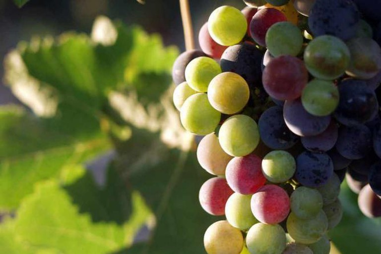 Mexican wine grapes