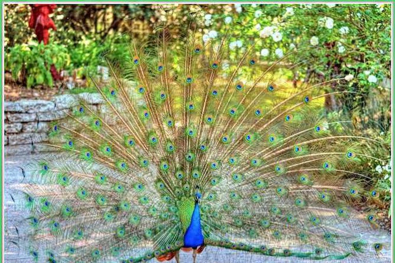 A Peacock at the Arboretum