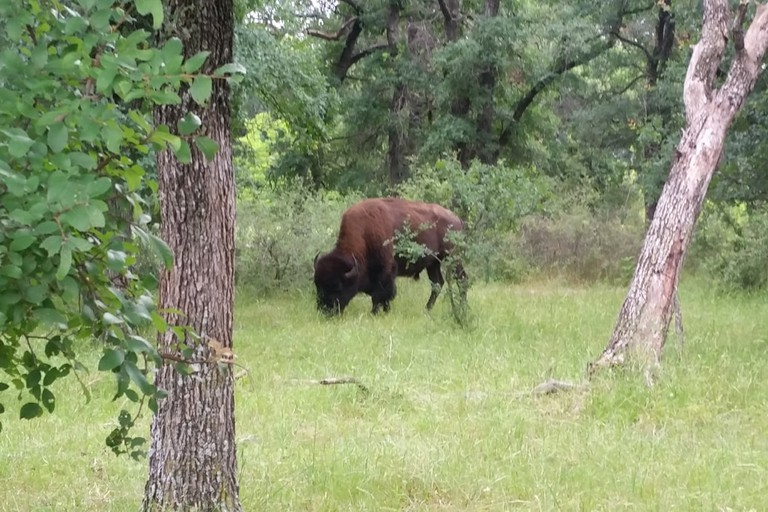 A herd of bison can be seen at the Fort Worth Nature Center and Refuge