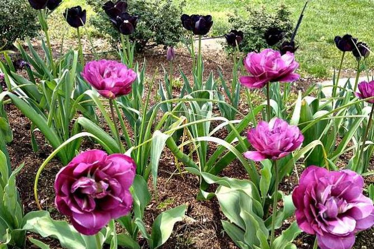 Tulips in Black and Purple