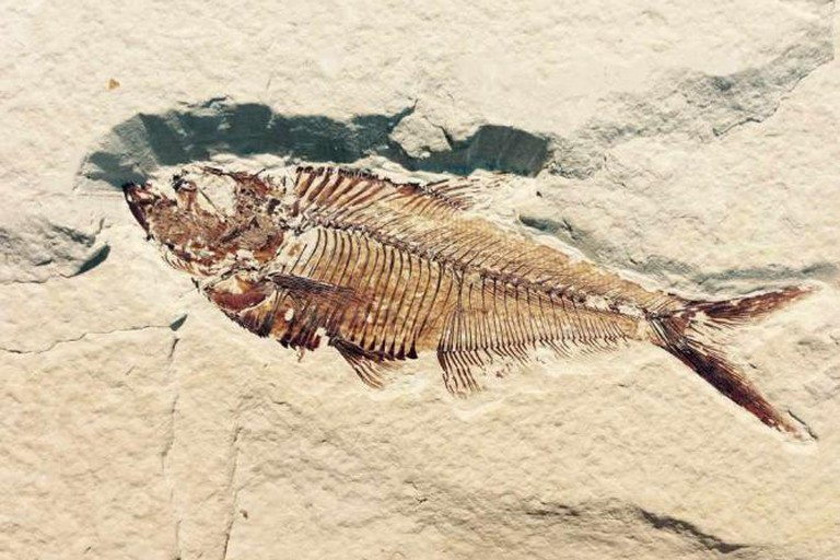 petrified fish fossil