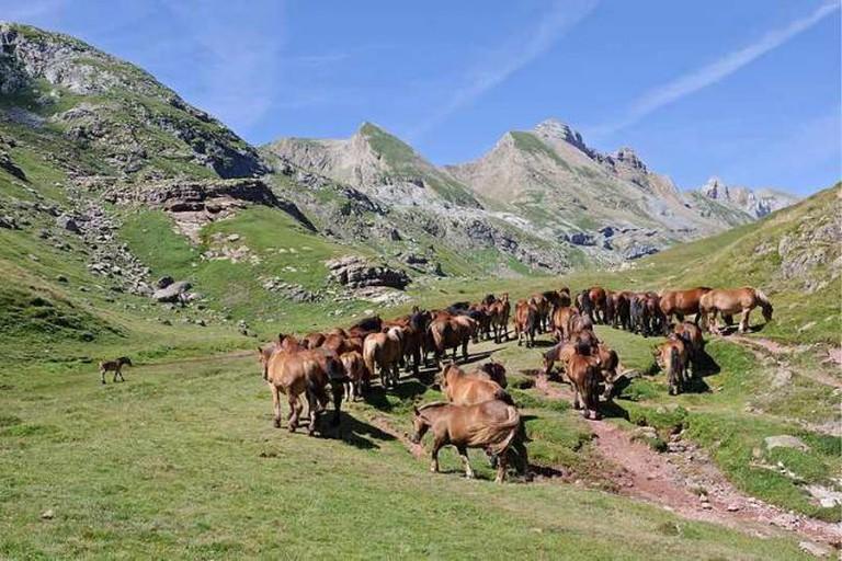 Chevaux estive Pyrenees