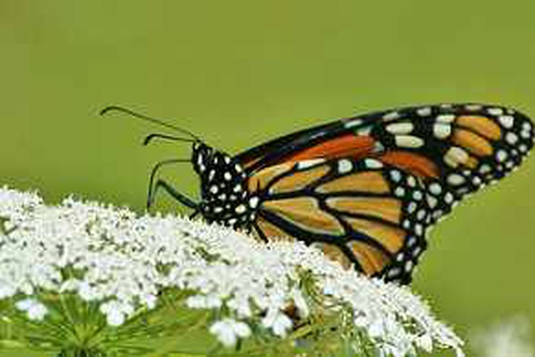 Monarch Butterfly on white flower