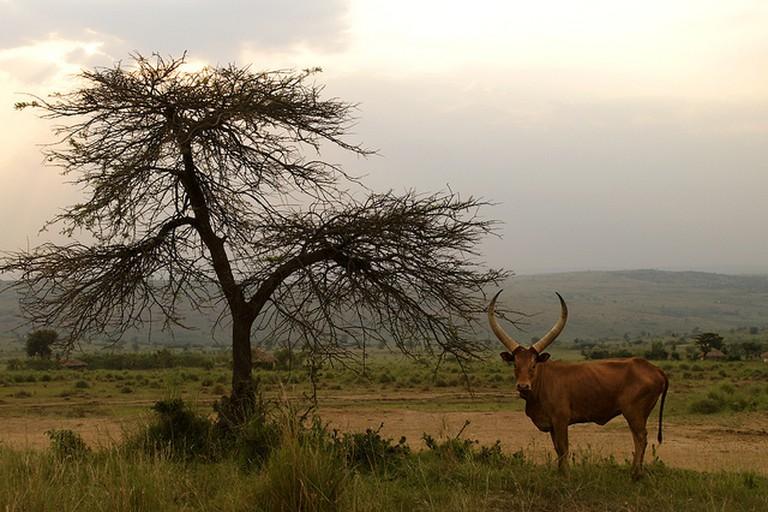 Cattle in Rwanda