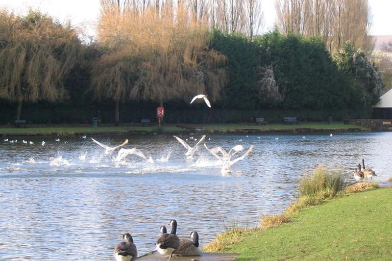 Ducks landing lakeside
