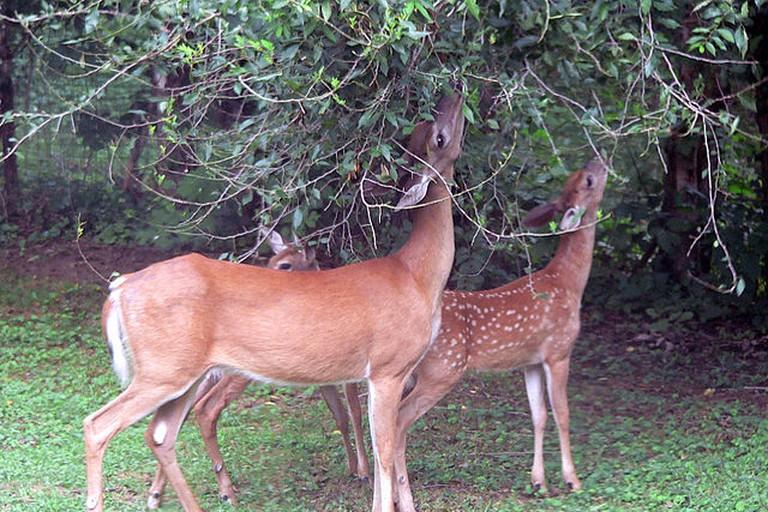 hite-tailed deer
