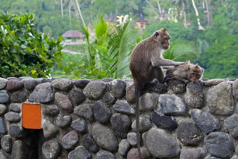 Bali Monkeys at Alila Hotel, Ubud