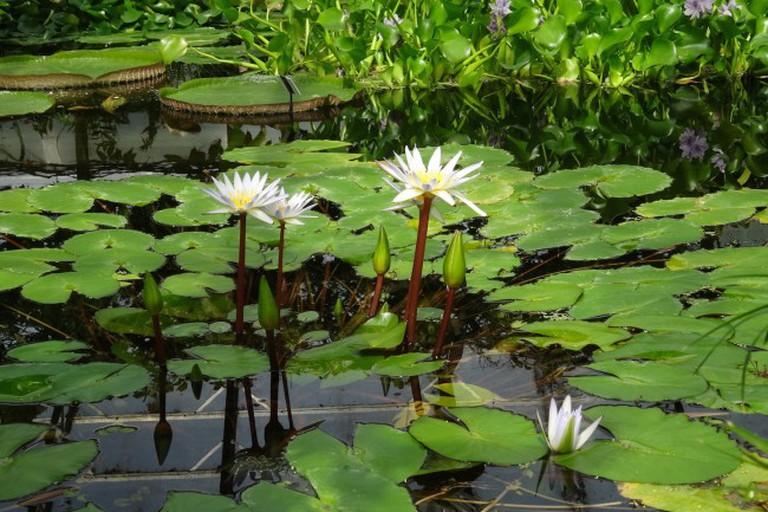 Waterlilies in the Botanic Garden