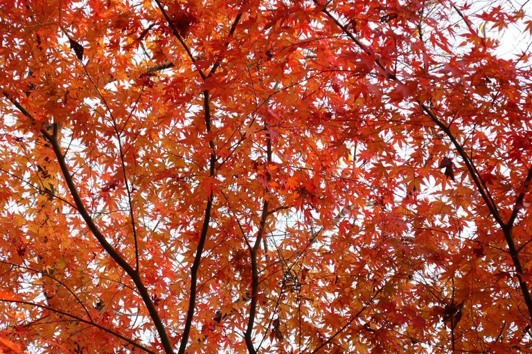 minoo_minoh_park_momiji_maple_fall_leaves
