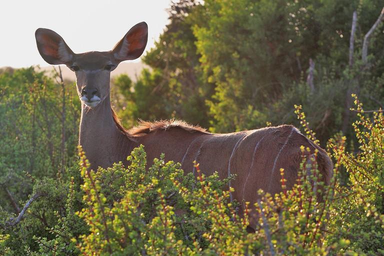 Young kudu antelope
