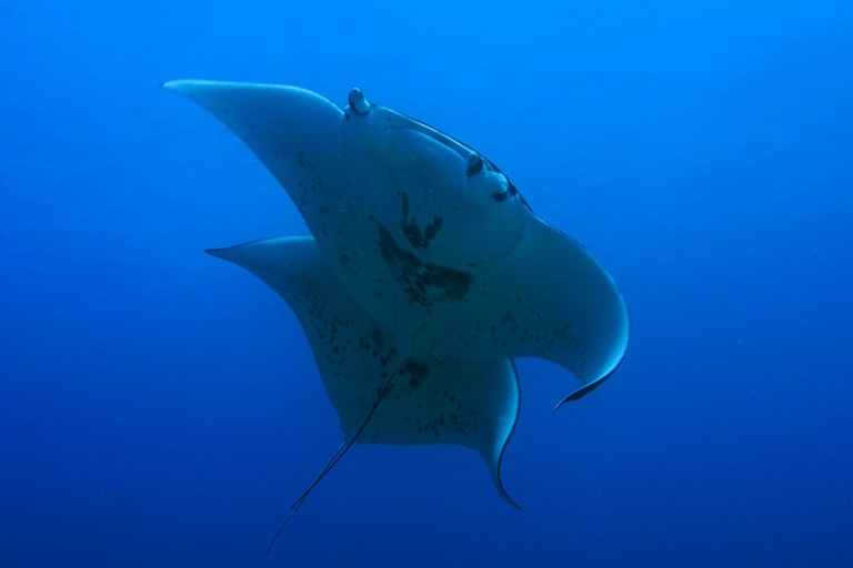 Manta Rays | © NOAA Office of National Marine Sanctuaries/Flickr