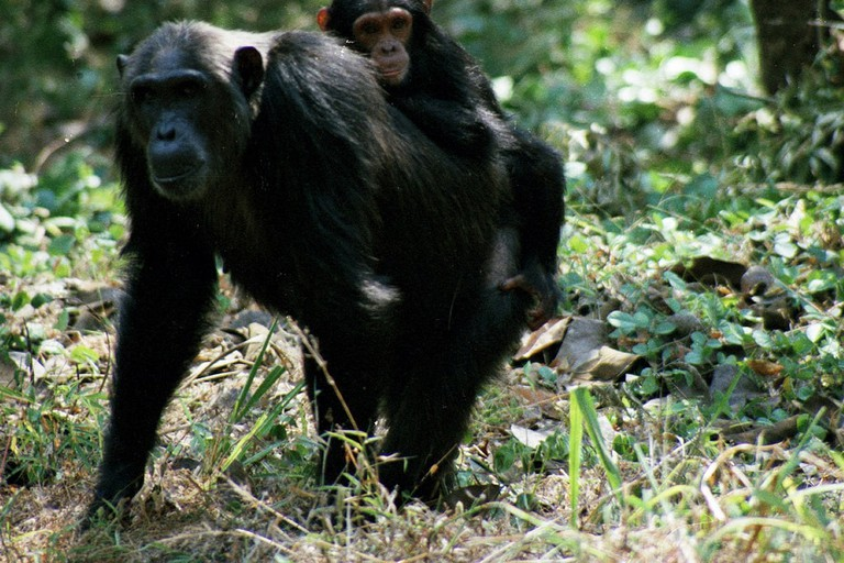Chimps at Gombe