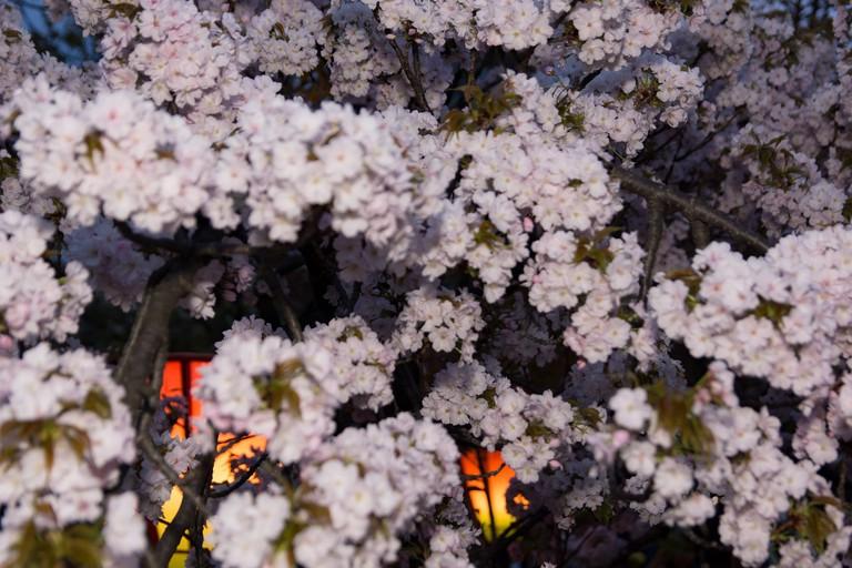 japan-mint_osaka_japan_sakura_cherry-blossom
