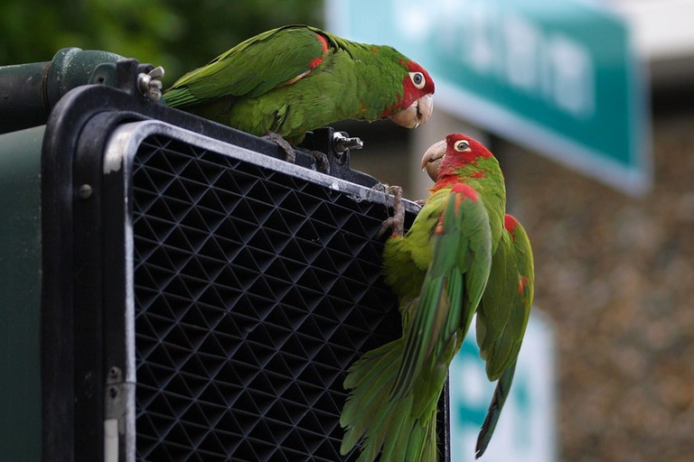 Parrot Pair on walk signal