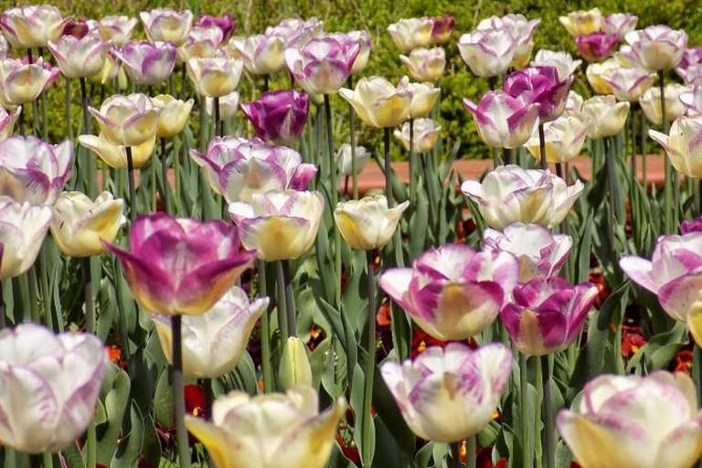 Tulips in Sofia