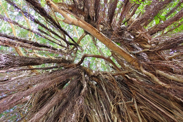 Looking up the Roots of Banyans