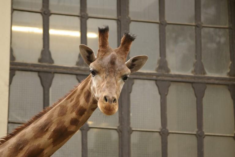 An Antwerp Zoo giraffe