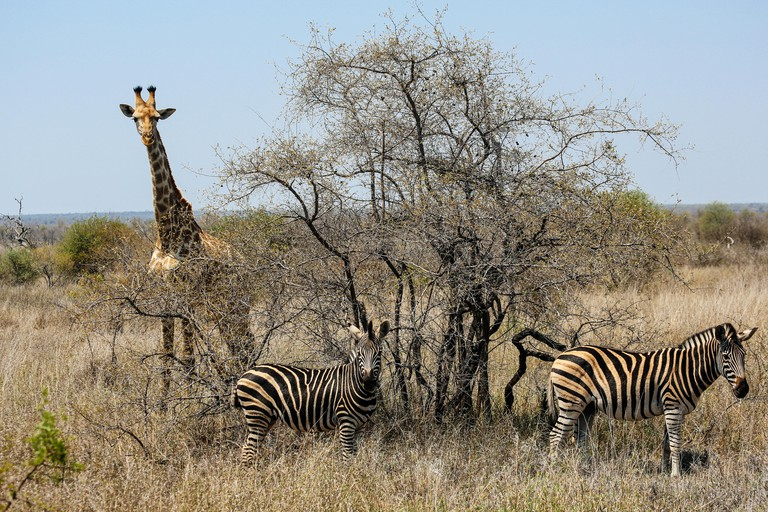 Giraffe and zebra, Kruger National Park, South Africa