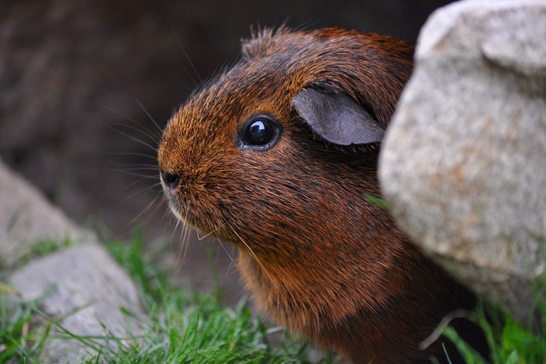 guinea-pig-498824