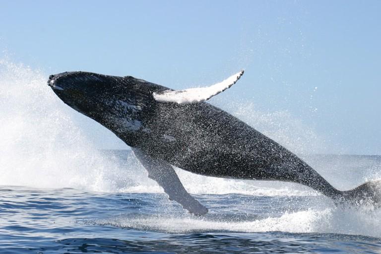 humpback-whale-jumping-CA