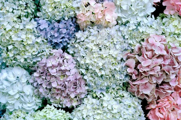 Hydrangeas 1 by Derek Henderson at Michael Reid Sydney © Michael Reid Sydney
