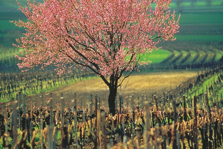 Vineyards in the spring