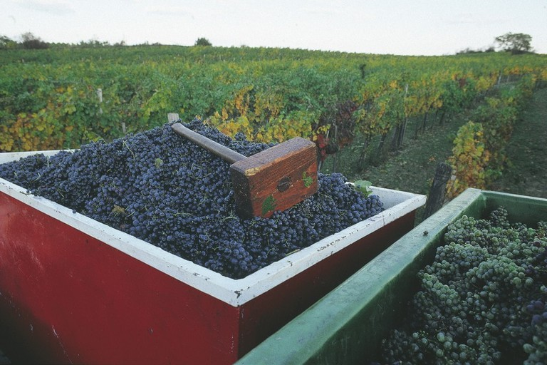 Traditional methods are used at the vineyard