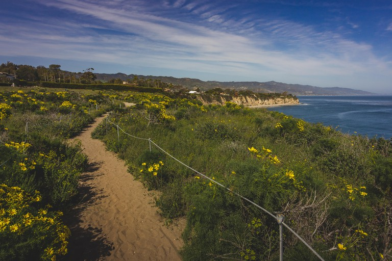 Beautiful yellow wildflowers blooming and covering Point Dume in springtime with coastline view of Dume Cove, Malibu, California
