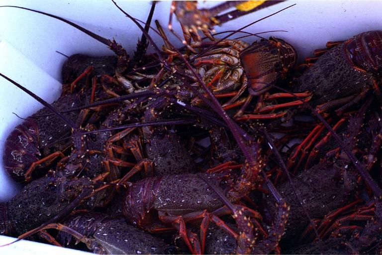 NZ Crayfish