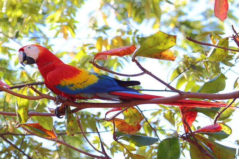 rainbow scarlet macaw in Costa Rica