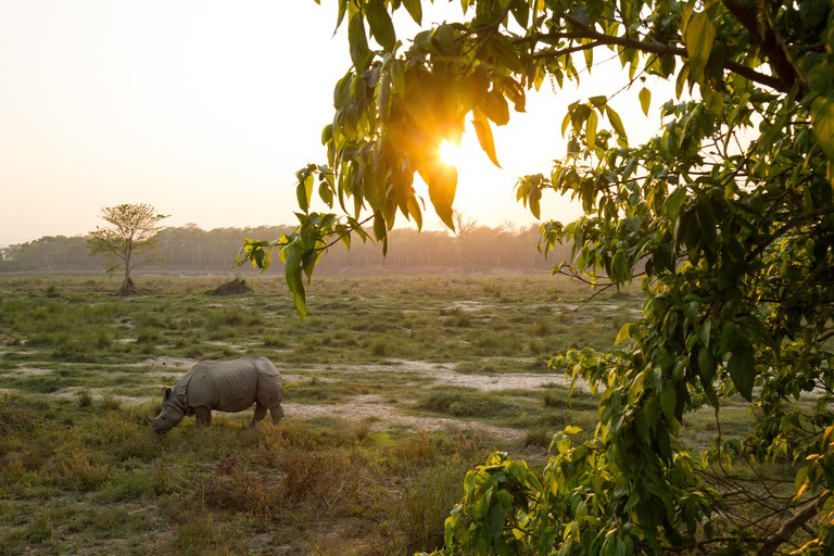 Greater One-horned Rhino (Rhinoceros unicornis) eating at sunset, Chitwan National Park, Nepal