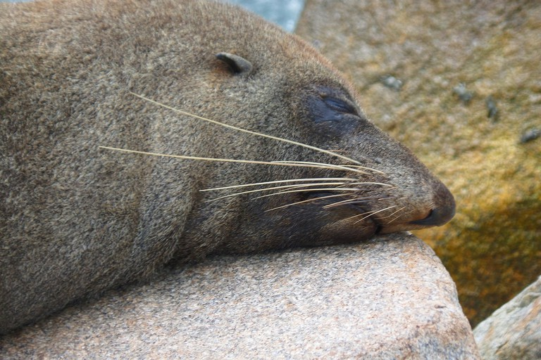 Australian fur seal © Jo Elphick / Flickr