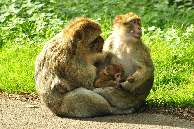 Barbery Macaque at Woburn Safari Park