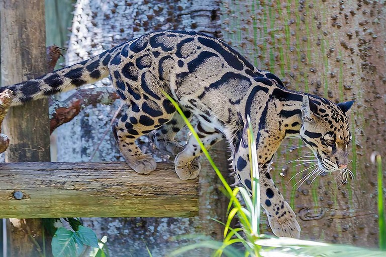 Clouded Leopard at ZooTampa at Lowry Park.
