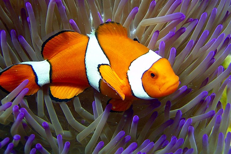 Clownfish at Reef HQ, Townsville © Reef HQ
