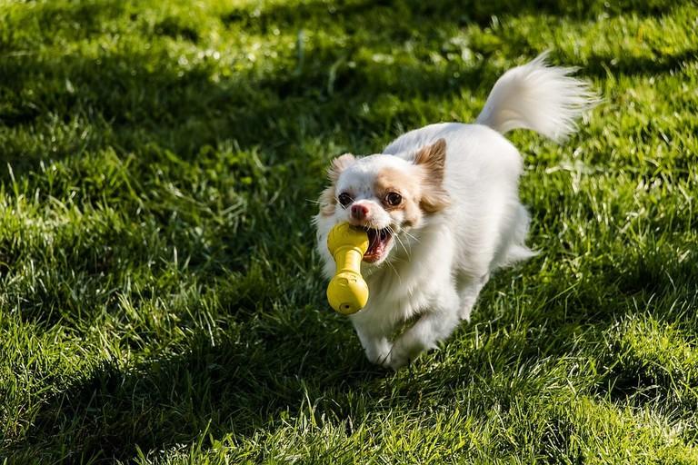 https://pixabay.com/en/chihuahua-dog-long-hair-chihuahua-2781252/