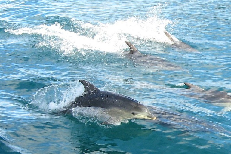 Dolphins in Port Phillip Bay © DocklandsTony / Flickr