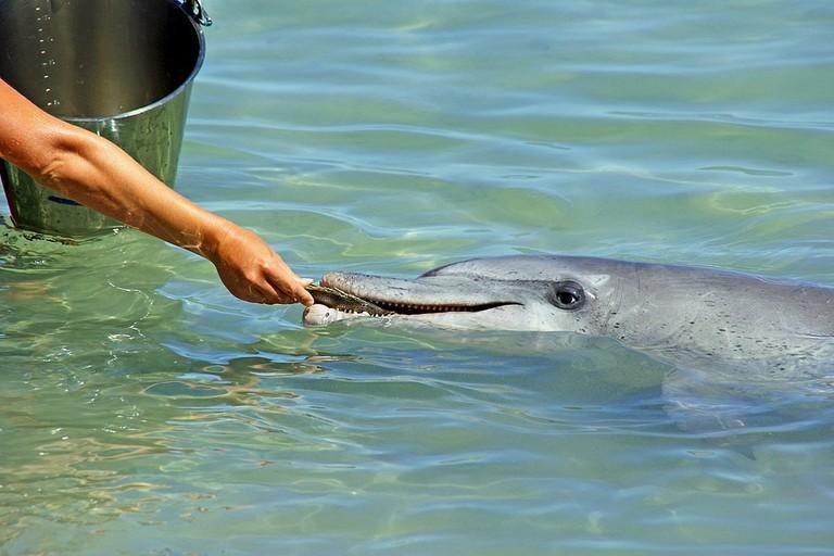 Feeding dolphins at Monkey Mia   © Andy Tootell / WikiCommons