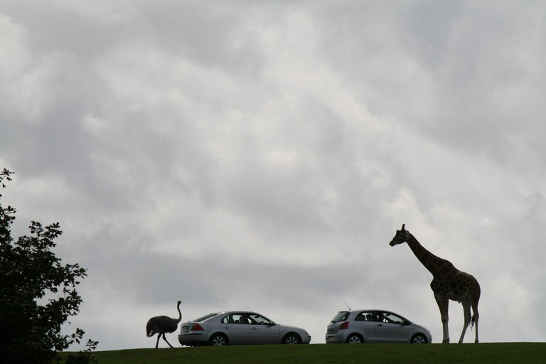 Giraffe greeting a car at West Midland Safari Park