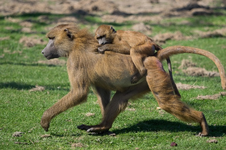 Guinea baboons at Port Lympne