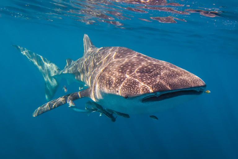 Whale Shark on the Ningaloo Coast