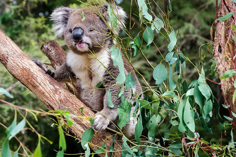 Koala at the Healesville Sanctuary © James Austin / Flickr