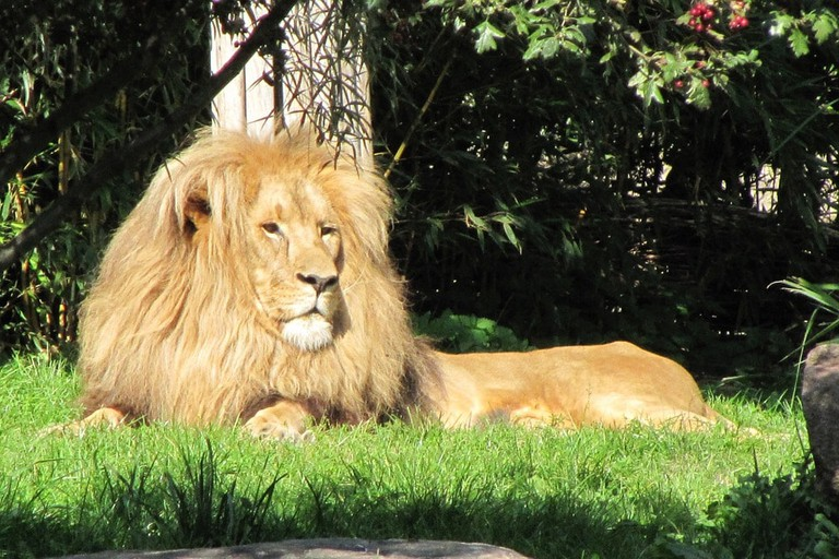 lion-111873_960_720