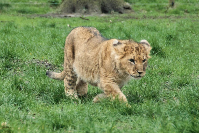 Lion cub at Knowsley Safari