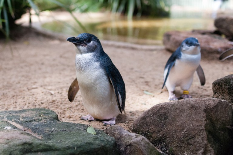 Little penguins © Matt Chan / Flickr