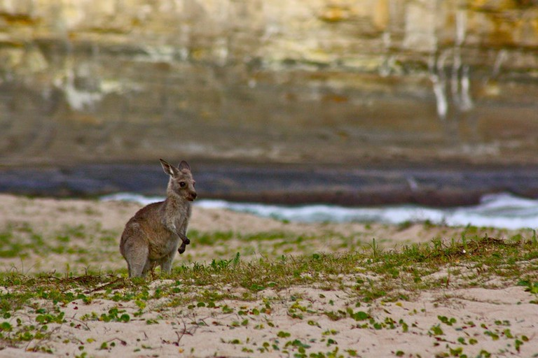 Pebbly Beach kangaroo © Kyle Taylor / Flickr