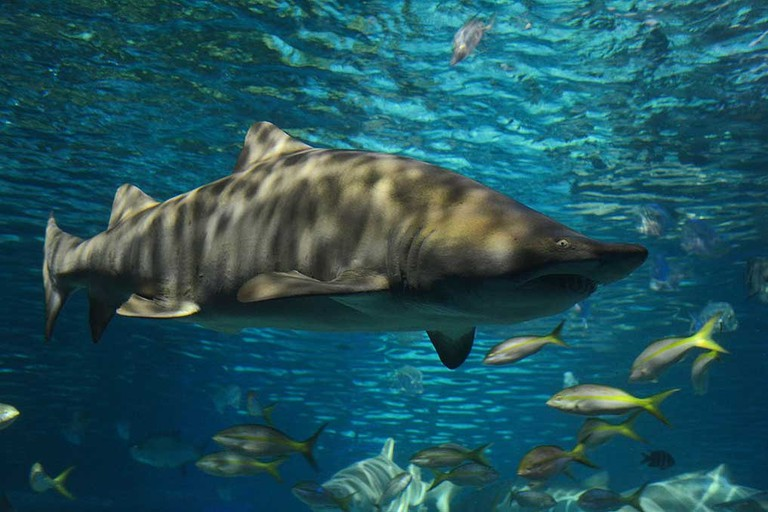 Sand tiger shark in the wild