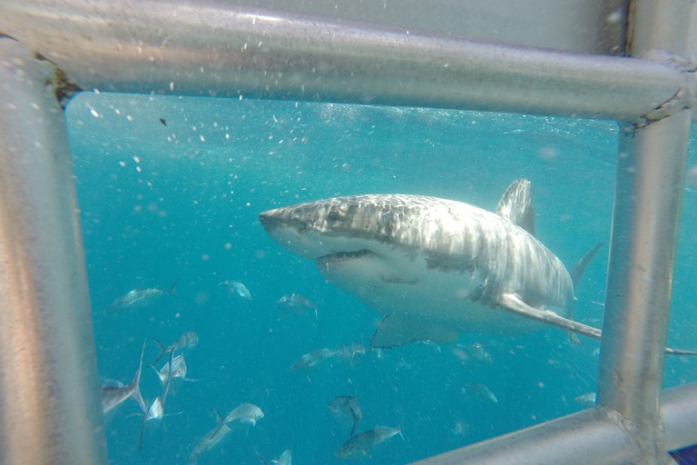 Shark cage dive off the Eyre Peninsula © Tom Smith
