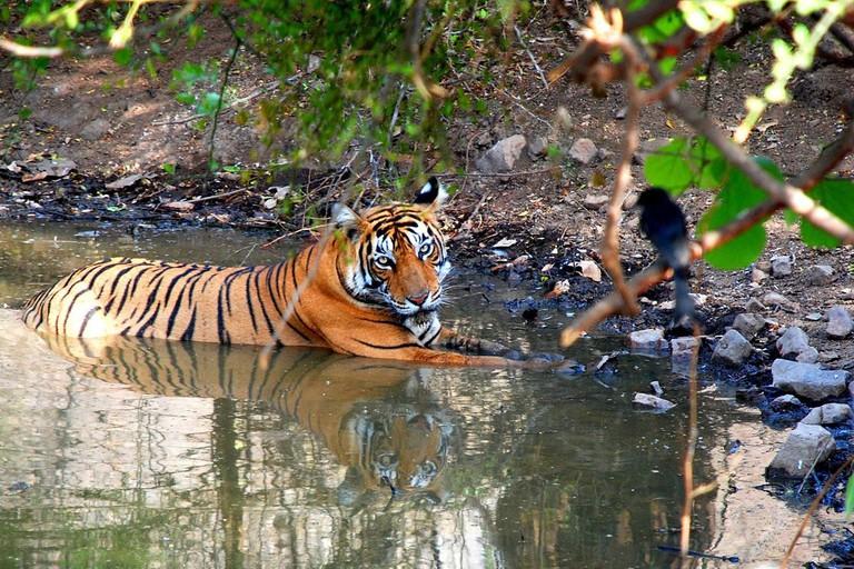 Tiger_Ranthambore_